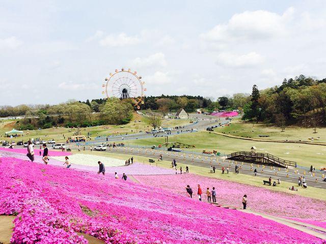 芝桜_東京ドイツ村
