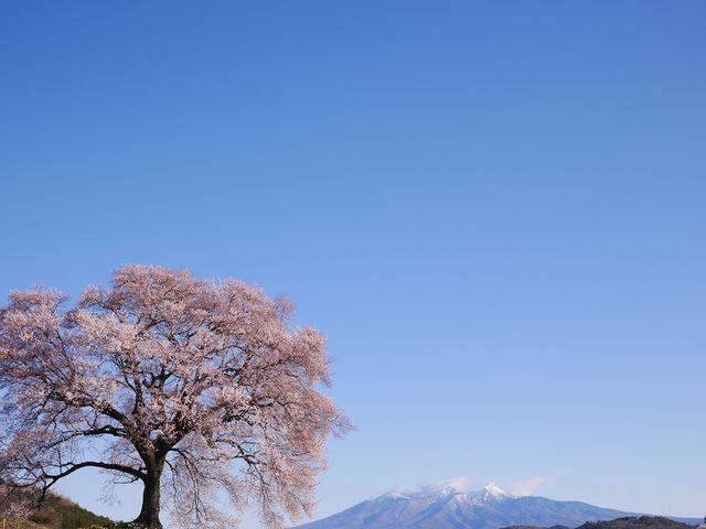 見事な桜の春の訪れと、奥に雪が残る山頂と、ふたつの季節感を味わえた大満足な桜でした。_わに塚のサクラ