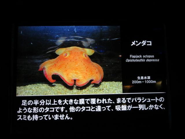 メンダコ デリケートな生き物なので、長生きできないそうです。 会えてよかった…。_沼津港深海水族館