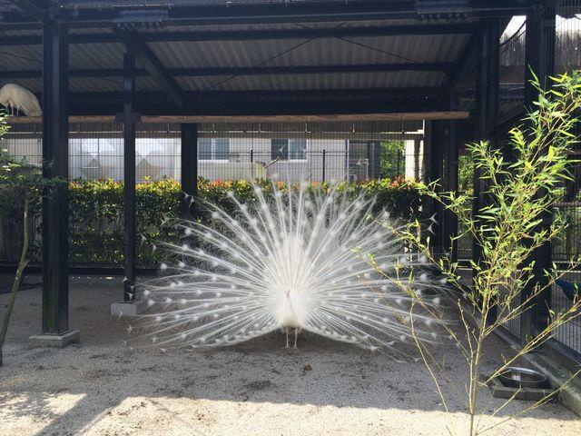 孔雀の羽_平川動物公園