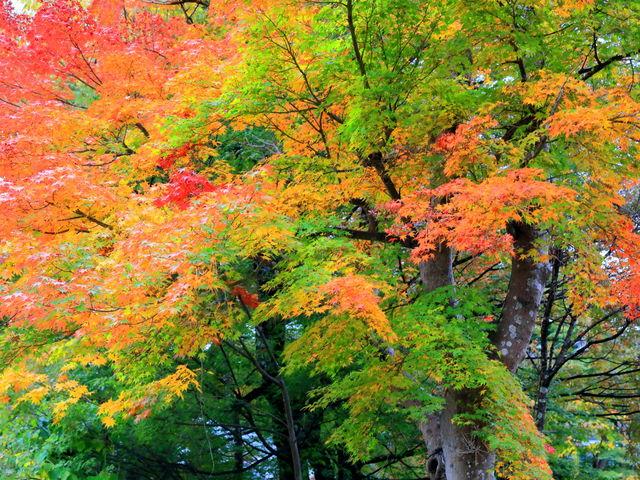 紅葉し始めだが、緑が残り紅葉とのコントラスが見事_忍野村