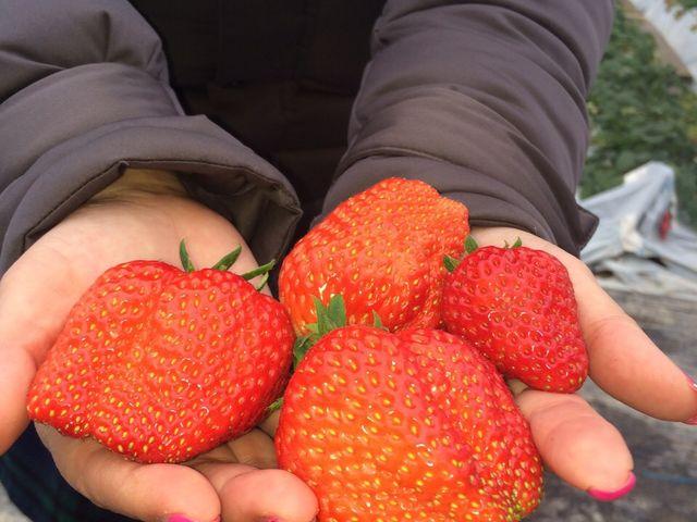 とっても大きくて美味しいイチゴでした_貴志川観光いちご狩り協会