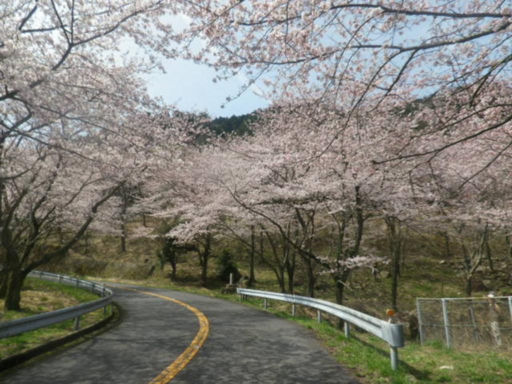野呂山の桜