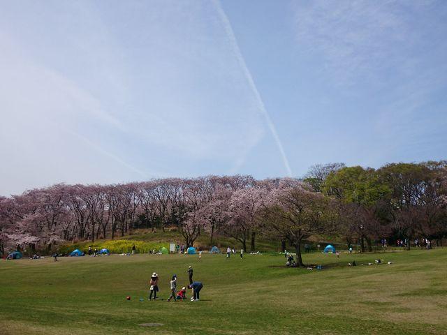 芝と桜_根岸森林公園