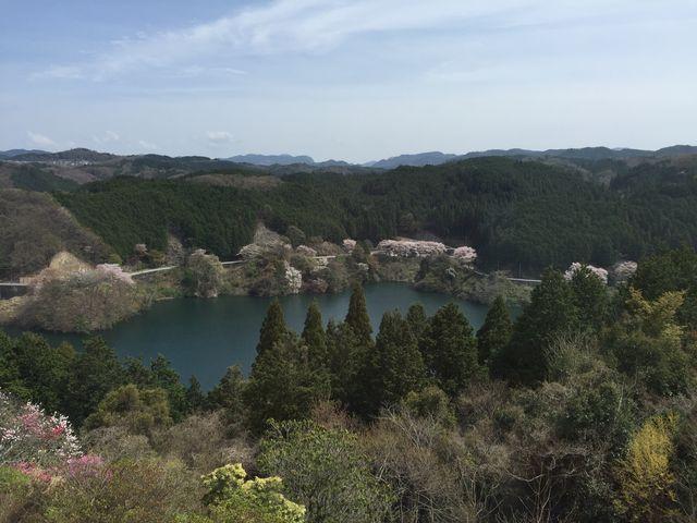 散り始めの桜がきれいです。_青蓮寺湖