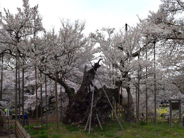 周囲の桜に負けない大樹です。_山高神代桜