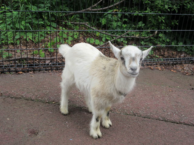 ヤギの子ども_盛岡市動物公園