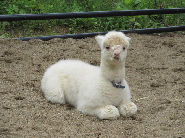 アルパカの子ども_盛岡市動物公園