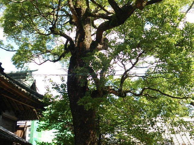 拝殿右の御神木。_豊玉姫神社