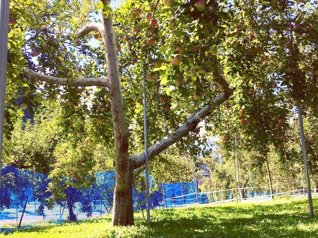 りんごの樹の下でピクニック気分で食べ放題!_上ノ原農園