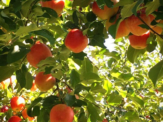 葉っぱがいっぱいで木かげもいっぱい_上ノ原農園
