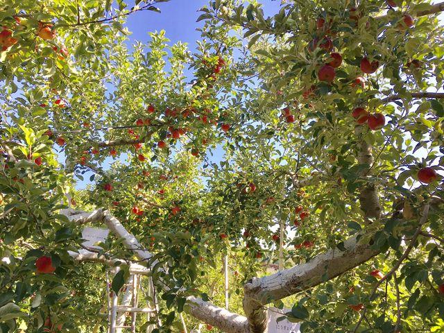 一つの樹から二種類のりんご_上ノ原農園
