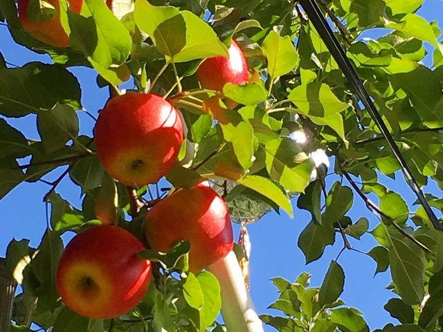 りんごを甘くするため葉を間引かない育成法なので色むらはありますが、美味しいりんごがいっぱいです!_上ノ原農園