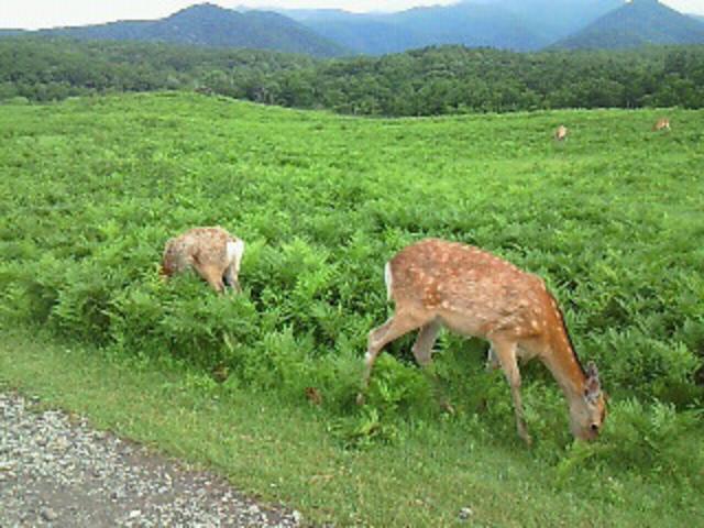 フレペの滝への遊歩道にいた鹿_知床自然センター
