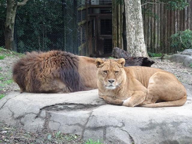 ライオンは雌雄が揃ってました_到津の森公園