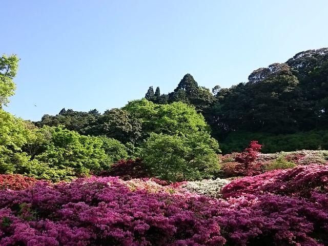 森の緑とつつじ_久留米森林つつじ公園