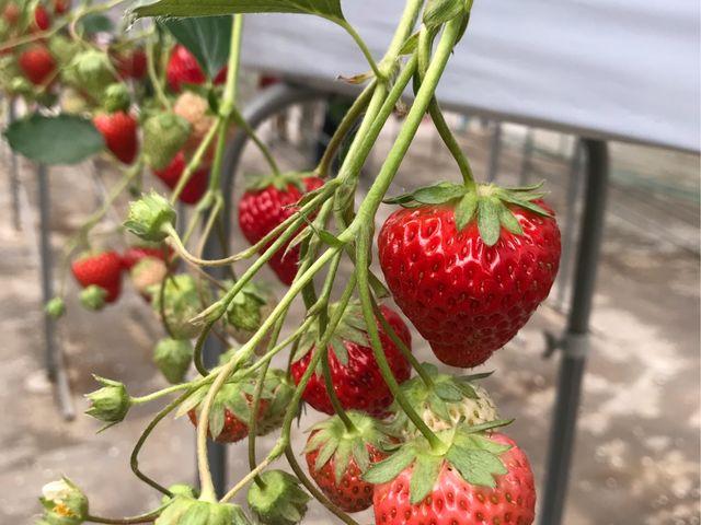 真っ赤なイチゴがたくさん_所沢北田農園 苺のマルシェ