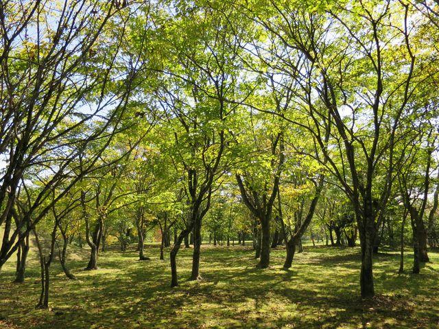 クルミの木_湯川ふるさと公園