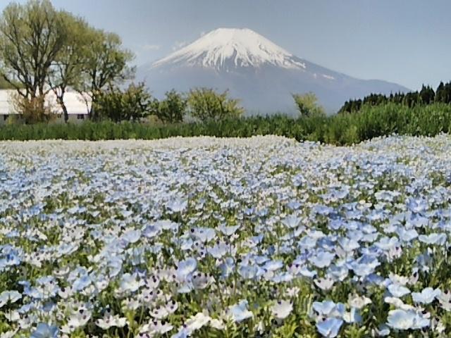 ネモフィラと富士山_山中湖 花の都公園