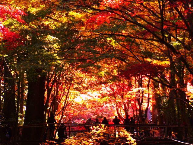 橋の上にいる人たちが紅葉に覆われているように見えますね_小國神社