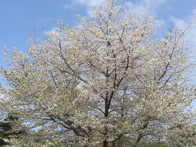 満開の桜の木。_北海道大学