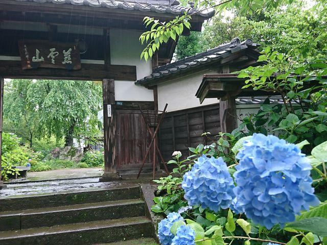 青い紫陽花_資福寺