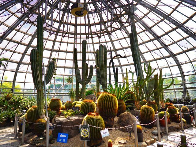 サボテン。かなり大きいです。_姫路市立手柄山温室植物園