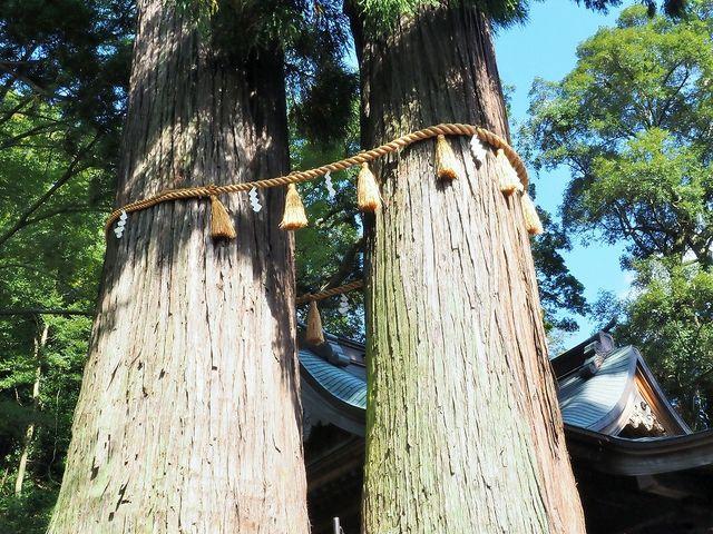 日枝神社の夫婦杉(子宝の杉)昔は間を通れたのですが今は通れません_日枝神社