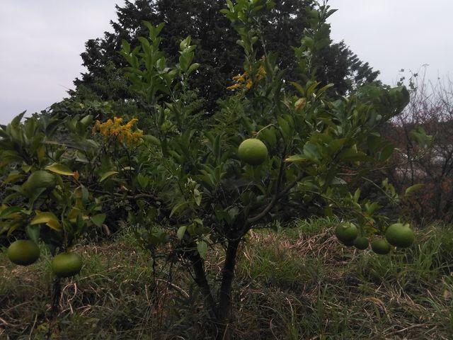小高い山を登っていくと橘の木がいくつかあり、落ちている果実を食べたら美味しかったです。 _白山神社