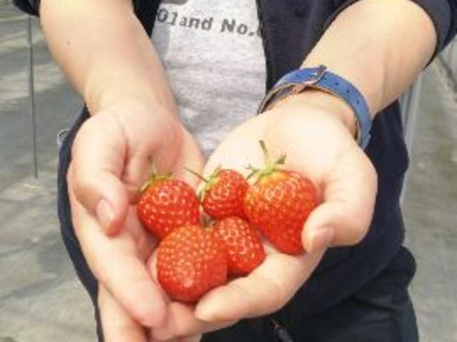 沢山のイチゴに夫が大喜びしていました。_まるおファーム