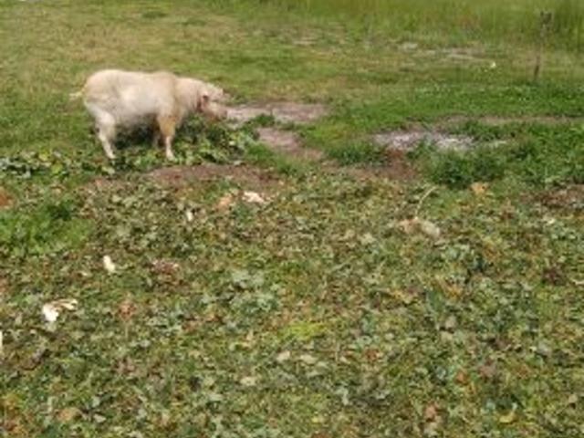 イチゴのヘタや収穫後の苗を食べてくれるヤギ。_まるおファーム