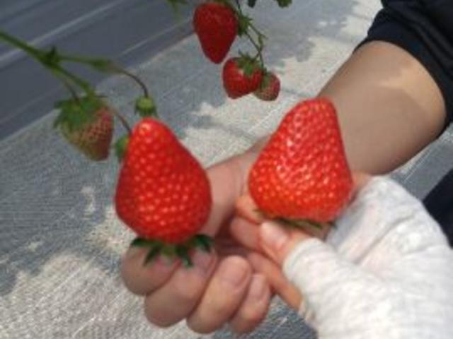 大きなイチゴ!とても甘くておいしかったです。_まるおファーム